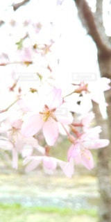 河辺の枝垂桜の写真・画像素材[3072845]