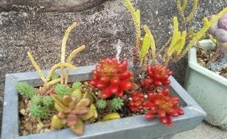 花多肉植物の写真・画像素材[3072846]