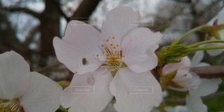 桜の花びらにハートの写真・画像素材[3072862]