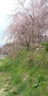 枝垂桜の写真・画像素材[3072864]