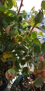 プシュケのつぼみの写真・画像素材[3073057]