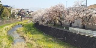 フィール川と桜並木の写真・画像素材[3074293]