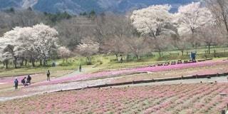 背景に木羊山公園の桜と芝桜を見に来たグループの写真・画像素材[3075092]