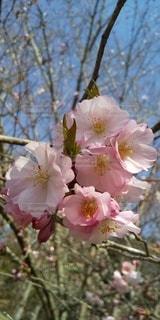 八重桜のアップの写真・画像素材[3075140]