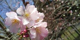 八重桜アップの写真・画像素材[3075139]