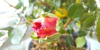 薔薇の蕾のアップの写真・画像素材[3076147]