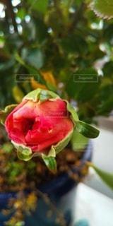 植物のクフレンチキスの写真・画像素材[3077228]