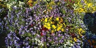 公園,花,春,屋外,花壇,パンジー,草木,ビオラ,ガーデン,フローラ