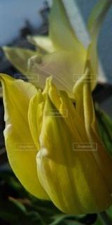 花のクローチューリップのアップの写真・画像素材[3088823]