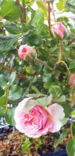 大輪の薔薇と蕾の写真・画像素材[3099065]