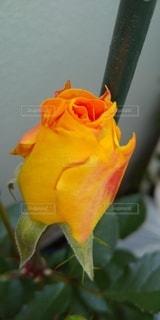 ゴルデルゼ1番花の写真・画像素材[3108537]