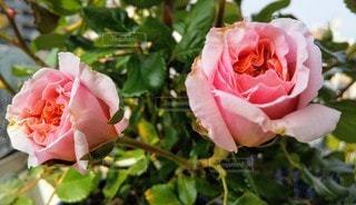 ピンクのプシュケの写真・画像素材[3108627]
