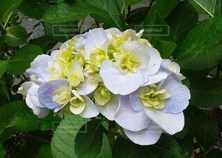 清水寺の紫陽花の写真・画像素材[3617675]
