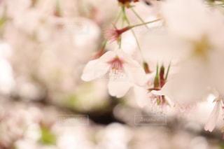 花,春,桜,草木,ブロッサム