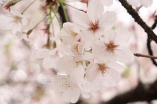 花,景色,草木,桜の花,ブロッサム