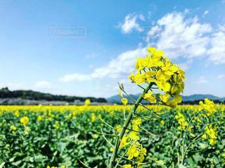 菜の花の写真・画像素材[3064318]