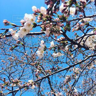空,花,春,桜,屋外,青い空,樹木,草木,桜の花,さくら,ブロッサム