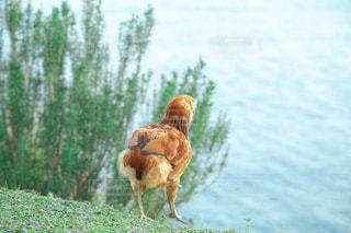 海の見える家の庭で飼っている鶏の写真・画像素材[3064800]