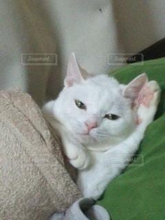 猫,動物,白,かわいい