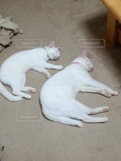 猫,動物,白,かわいい,2匹
