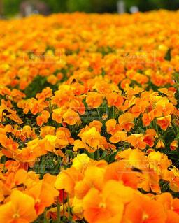 1面オレンジ色の写真・画像素材[4569144]