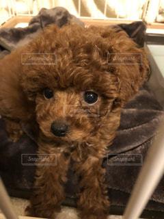 犬,動物,かわいい,子犬,プードル,トイプードル