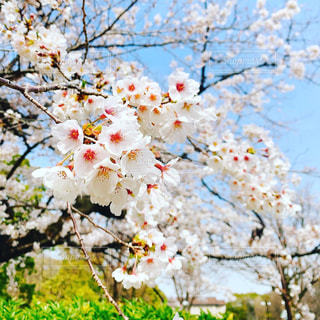 花,春,鮮やか,桜の花,さくら,ブロッサム