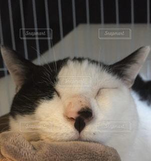 猫,動物,屋内,白,かわいい,ペット,寝顔,白猫,鼻,黒ぶち
