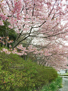 満開の桜の写真・画像素材[3069294]