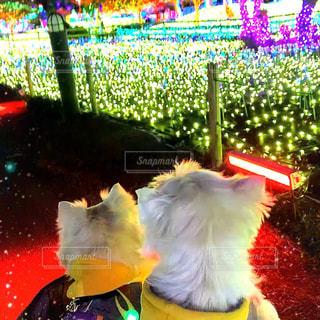 愛犬と一緒にイルミネーションの写真・画像素材[3070672]