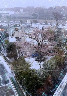 絶景❤️❤️❤️雪と桜🌸🌸🌸の写真・画像素材[3072147]