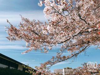 晴天の桜の写真・画像素材[3069258]