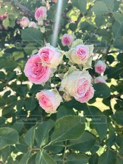 バラのクローズアップの写真・画像素材[3076417]