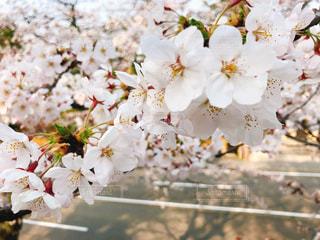 公園,春,桜,さくら
