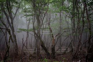 霧と枝の森の写真・画像素材[3111122]