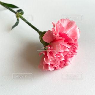 ピンクのカーネーションの写真・画像素材[3215892]