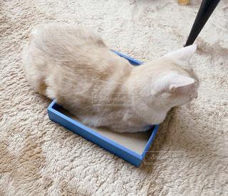 箱に入りきれてると思ってる猫の写真・画像素材[3231367]