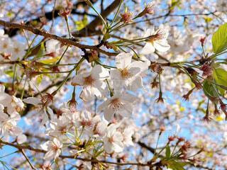 桜の花の写真・画像素材[4230916]