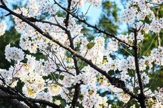 桜に佇む小鳥の写真・画像素材[3072052]