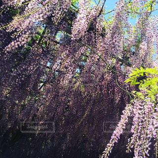 花,春,屋外,緑,紫,景色,樹木,新緑,5月,藤棚,キレイ