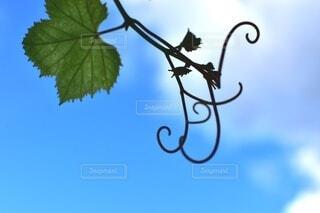 空,屋外,葉っぱ,葡萄,明るい,草木,音符