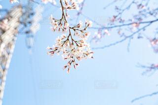 桜と鉄塔の写真・画像素材[3083524]