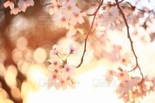 桜の写真・画像素材[3084285]