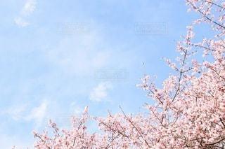 桜の写真・画像素材[3084291]