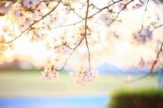 桜の写真・画像素材[3084295]