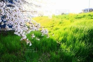 桜の写真・画像素材[3084298]