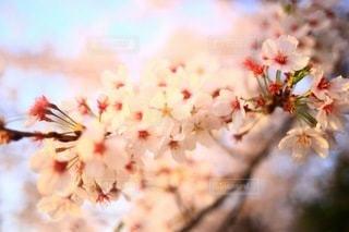 桜の写真・画像素材[3084302]