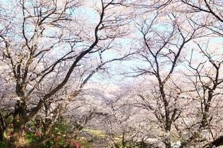 桜の写真・画像素材[3084305]