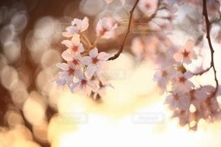桜の写真・画像素材[3084299]