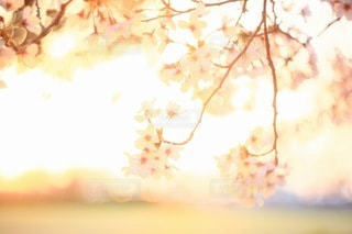桜の写真・画像素材[3084304]
